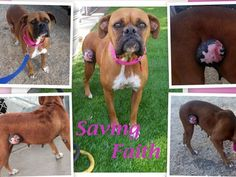 """Saving FAITH! She's only about 2-3 yrs old, at the Los Banos animal shelter. She has a large tumor on her abdomen & was covered in ticks. We couldn't abandon her like her """"people"""" did so we rescued her. She needs immediate medical treatment. Please show your love & support to Faith by donating. We don't know the full extent of what her medical treatment will entail but we are committed to saving her life. Thank you for helping save Faith! I gave. Please DONATE-every dollar counts."""