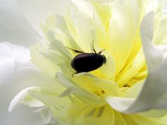 June Bug in a Peony