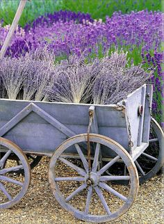 Lavender three ways: growing, dried and paint on wagon.