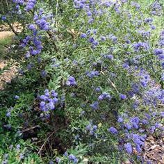 Concha Ceanothus (Ceanothus 'Concha') is a member of the Rhamnaceae Family (Buckthorn)  It is a medium shrub growing an average of 4' high by 4' wide but can get bigger in milder climates  It likes full sun and very little water  It tolerates heavy clay and alkali soils with Exceptional Fragrance!
