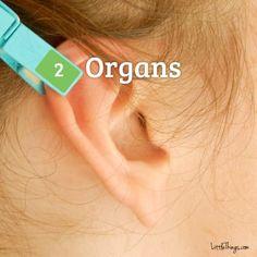 Pegador de roupa na orelha - órgãos - Cura pela Natureza