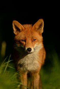 Red Fox by Benjamin Joseph Andrew on Flickr.