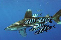 Rekiny – Wikipedia, wolna encyklopedia