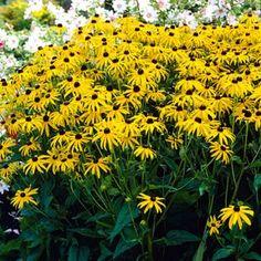 """black eyed susan goldsturm    height 24-30""""  spread 18-24""""    Deer Resistant, Hummingbirds & Butterflies, Cut Flowers, Borders, Showy Flowers, Extended Blooms, Easy to Grow"""