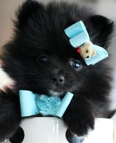Teacup pomeranians, find Teacup pomeranian puppies on our website. Our pomeranian puppies and dogs are amazing and super small. we ship our teacup pomeranians Toy Pomeranian Puppies, Black Pomeranian, Teacup Pomeranian, Fluffy Puppies, Yorkie Dogs, Teacup Puppies, Pomeranians, Puppies For Sale, Dogs And Puppies