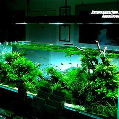落ち着いた佇まいの水槽でした。過去の水槽に思いを馳せる #ADA#Natureaquarium#AquaRevue#300itemShop#水草水槽#アクアリウ
