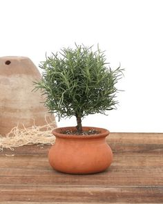 "Item 523 - 4"" Clay Washpot Rosemary"