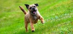 Border Terrier Dog Breed Information Guide