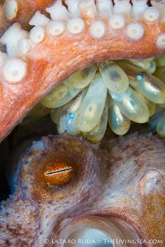 Common octopus with eggs by TheLivingSea.com via Flickr