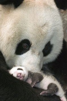 Panda and cub in Melbourne zoo
