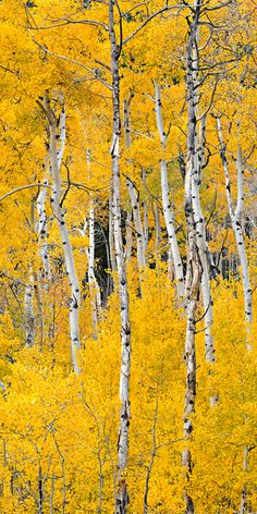 Cottonwood Pass Aspens, Buena Vista, Colorado - photo by Igor Menaker