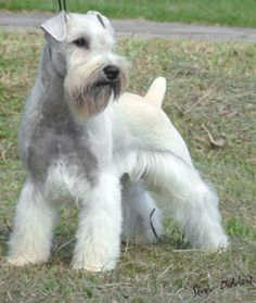 white miniature schnauzer, just like the little furry man...(aka. Schultz)