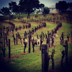 Nature's lawnmowers get to work in a contour vineyard.  #Barossa #BarossaValley #BarossaDirt #vineyard  Image by @BarossaDirt on Instagram. copyright Barossa Grape & Wine Association