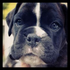 Athos, our boxer, the first time we saw him. Three or four weeks old, I think. Cutest puppy eyes ever!