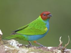 Bay-headed Tanager (Tangara gyrola), Costa Rica 2013 by Alex Vargas