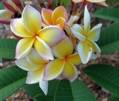 Beautiful flowers of Hawaii