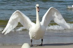 """Swan Act II Scene II Lines 89-90 (Benvolio) """"And I will make thee think thy swan a crow."""" *A swan is more beautiful than a crow as he want Romeo to find someone besides Rosaline."""