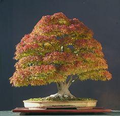 Japanese Maple (Acer palmatum) Bonsai and photograph by Walter Pall Bonsai Acer, Bonsai Plants, Bonsai Garden, Juniper Bonsai, Bonsai Flowers, Cactus Plants, Ikebana, Plantas Bonsai, Mini Bonsai