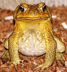 Species: The American Toad or Bufo Americanus belongs to the Bufo genus of the Bufonidae family.   Origin: True to their name, the American Toads originate from the Americas and are widely distributed across the eastern half of North America.