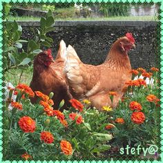 Rooster, Animals, Animales, Animaux, Roosters, Animal, Animais, Dieren