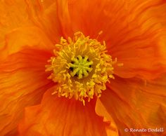 Orange Poppy Orange Poppy, Orange Zest, Orange Crush, Orange Color, Macro Flower, Different Flowers, World Of Color, Great Photos, Color Inspiration