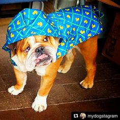 Thanks @mydogstagram Milo looks awesome! #rcpets #rcpetproducts #rubberducky  #packablerainponcho #rainponcho #raincouver #rainraingoaway #vancouverisawesome #vancity #vancitydogs • • • Rain rain go away...come again another day #raincouver #vancity ☔
