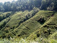 Darjeeling, India.  My dad used to go with his family to the tea estates in Darjeeling, so this is definitely on my list of places I want to see in the next five to ten years.