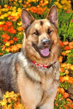 German Shepherd waiting to go for a walk  Click on this picture to see more beautiful German Shepherd images