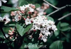 Korean Spice Viburnum  Large clusters of spicy-scented, waxy pink flowers fade to white. Bright red berries fade to black in fall. Foliage becomes red and burgundy in autumn. Plant in the shrub border, back of perennial beds and foundation plantings. Deciduous