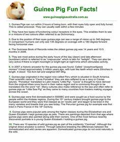 Guinea Pig Fun Facts. Did you Know? www.guineapigsaustralia.com.au Diy Guinea Pig Cage, Guinea Pig House, Pet Guinea Pigs, Guinea Pig Care, Pig Facts, Class Pet, Guinea Pig Bedding, Cute Piggies, Cool Pets