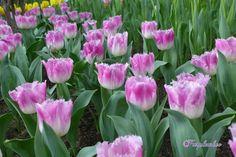 Tulipa cv. Oviedo