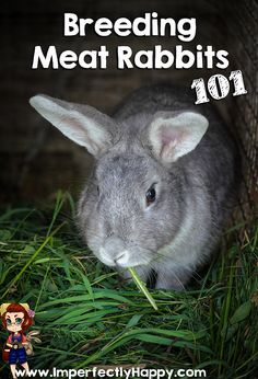 Breeding Meat Rabbits 101 - the Imperfectly Happy home- Breeding meat rabbits isn't hard; but there are a few general tips that give you success. Ultimately we want to strive healthy breeding stock that produce. Breeding Meat Rabbits 101 – the Meat Rabbits Breeds, Raising Rabbits For Meat, Rabbit Breeds, Farm Animals, Animals And Pets, All About Rabbits, Rabbit Farm, Rabbit Cages, Pet Rabbit