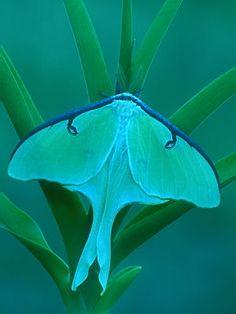 ✿ Luna Moth ✿