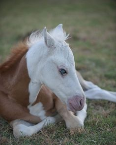 photos of horses with unique markings - Bing images Cute Horses, Horse Love, Cavalo Wallpaper, Baby Animals, Cute Animals, Horse Markings, Majestic Horse, All The Pretty Horses, Horse Breeds