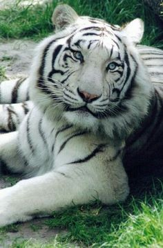 Großartige Bestes White Tiger-FotoYou can find White tigers and more on our website. Pretty Cats, Beautiful Cats, Animals Beautiful, Cute Cats, Tiger Pictures, Cute Animal Pictures, Nature Animals, Animals And Pets, Wild Animals