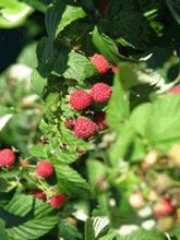 Bulk Herb Store - Articles - Mama's Red Raspberry Brew