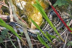 Isane rästik / Male viper minestretked has added a photo to the pool: A pin by Ingo Valgma Viper, Instagram