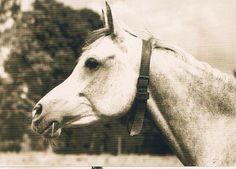 "HORSE POSTCARD ARABIAN MARE ""SAHMET"" SCHIELE picclick.com"