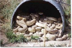 A Texas Power Light crew, putting in lines for an addition to the New Braunfels Airport, found 87 rattlesnakes in a culvert they were using. Caught Out, Only In Texas, Loving Texas, Texas History, Texas Homes, Texas Hill Country, Reptiles And Amphibians, World Records, Natural Disasters