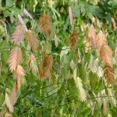 (Northern Sea Oats)A native grass variety, Chasmanth latifolium or commonly… Order Plants Online, Native Plants, Cut Flowers, Nativity, Flower Arrangements, Seeds, Gardening, Grasses, Garten