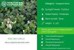 Abelia grandiflora Rose Creek. Glossy #greenleaves turning tinged purple in #winters. Visit plants.wemakedirtlookgood.com