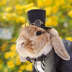 * Hi everybun. I'm Puipui.I'm handsome, I'm dapper,……and I'm a rabbit!! :D From crown to tuxedo, I take dressing up in costumes that my mum @mumitan creates for me. BtwI'm looking for a girlfriend!! xD See you soon!