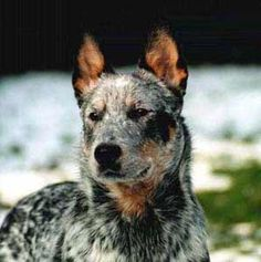 Australian Cattle Dog | australian-cattle-dogs-01.jpg