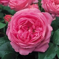 Neat, strongly fragrant blooms. Buy Louise Odier from David Austin with a 5 year guarantee and expert aftercare. Fragrant Roses, Shrub Roses, Types Of Flowers, Pink Flowers, Pink Roses, Elegant Flowers, David Austin Rosen, Ronsard Rose, Heritage Rose