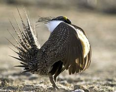 Sage grouse A male sage grouse calls for mates during the breeding season. www.mnn.com