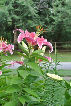 Stargazer lilies.