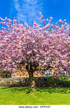 Beautiful Japanese cherry tree blossom in May - Stock Image