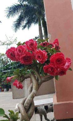 Flowers Nature, Tropical Flowers, Planting Succulents, Planting Flowers, Amazing Flowers, Beautiful Flowers, Flowering Bonsai Tree, Desert Rose Plant, Dahlia Flower