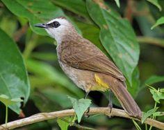 Yellow-vented Bulbul(Pycnonotus goiavier)
