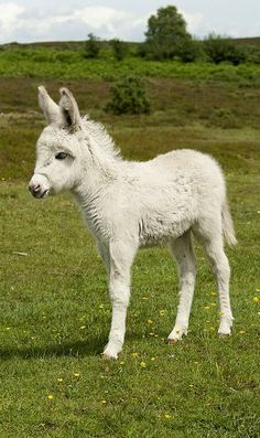 Baby White Donkey - Photo by Snaps379 Oh my heavens...pretty sure all angels get a baby white donkey like this when they earn their wings...